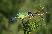 551110062 a wild green jay cyanocorax yncas perches in a plant on dos venadas ranch starr county texas united states