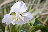 Viola odorata 'Alba Plena' white flowers double violets in spring bloom