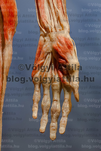 Hand closeup of a preserved human body on display at an exhibition in Budapest, Hungary on April 02, 2012. ATTILA VOLGYI