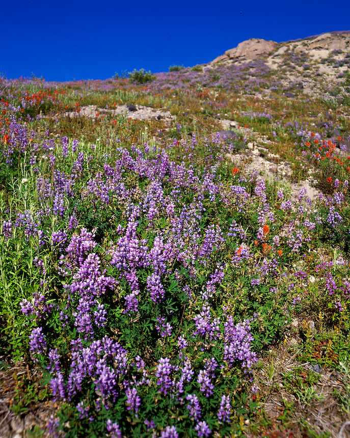 Broadleaf Lupine (Lupinus latifolius) and Common Red Paintbrush (Castilleja miniata) Dot the Landscape at Mt. St. Helens National Volcanic Monument, Washington, US