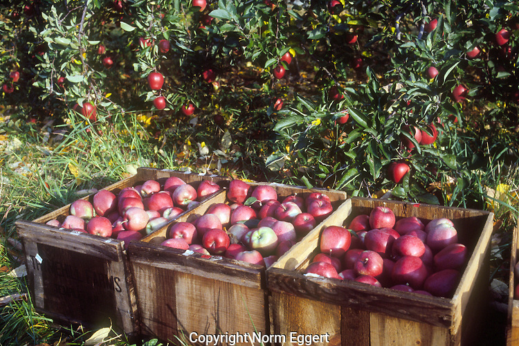 Red Apples, Just Picked