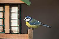 Blaumeise, Vogelfutter, Vogelfütterung, Fütterung, Blau-Meise, Meise, Meisen, Cyanistes caeruleus, Parus caeruleus, blue tit, bird's feeding, La Mésange bleue