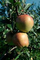 Deutschland, Niedersachsen, Ates Land, Apfelbaum