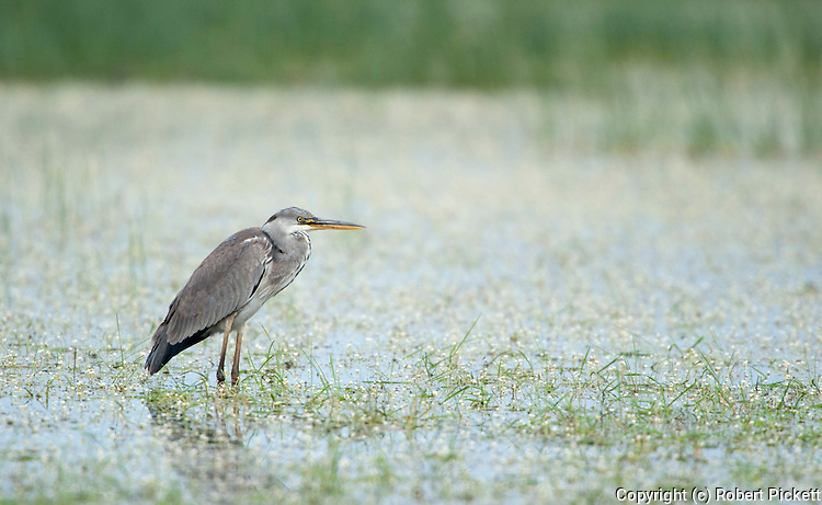 Grey Heron, Areda Cinerea, Lesvos Island, Greece, Kalloni Salt Pans, wading in water, winter visitor , lesbos