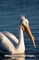 00671-009.03 American White Pelican  (Pelecanus erythrorhynchos)   Riverlands Environmental Demonstration Area,  MO