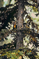 Pine Marten in spruce tree.  Northern Rockies.