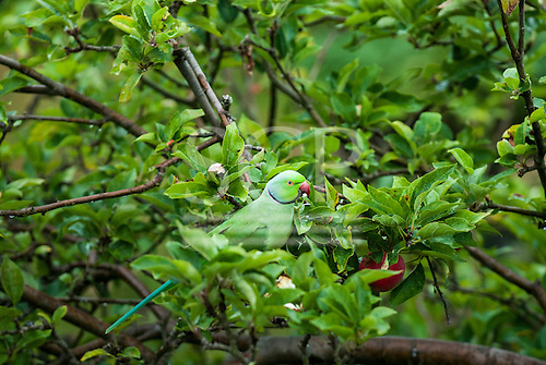 Kingston upon Thames, Surrey, England. A rose-ringed parakeet with red beak and black collar eats apples in a tree.