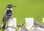 Male hairy woodpecker perched on a backyard fence.