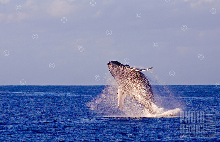Humpback whales breaches off the Island of Maui.