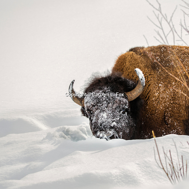 A bison has snow on its face.