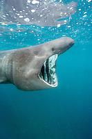 Basking shark (Cetorhinus maximus) filter feeding on plankton near the Lizard Peninsula, Cornwall, UK