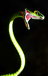 COSTA RICA - OCTOBER 19: A tight shot of a green tree snake in Costa Rica on October 19, 2003. The green tree snake is a non-venomous snake that usually feed on frogs, geckos, skinks, and other lizards. (Photo by: Donald Miralle)