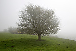 Foggy weather on chalk downs near Knap Hill, Alton Barnes, Wiltshire, England, UK leafless hawthorn tree