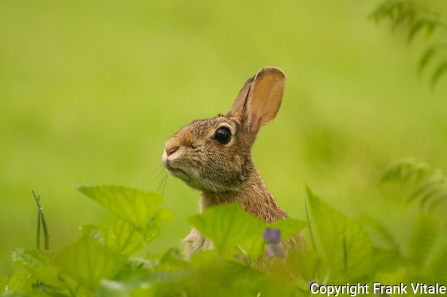 Bunny busy eating lawn clover and dandelions  when surprised by photographer!