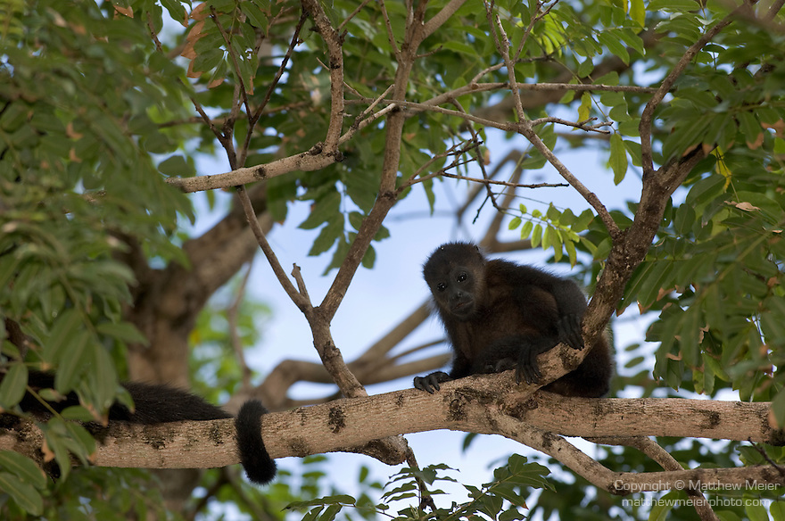 Ocotal, Guanacaste, Costa Rica; a juvenile Mantled Howler Monkey (Alouatta Palliata) up in the trees, known as Congo in Costa Rica , Copyright © Matthew Meier, matthewmeierphoto.com All Rights Reserved