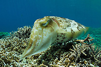 Broadclub Cuttlefish (Sepia latimanus) laying eggs in coral. Lembeh Strait, Celebes Sea, North Sulawesi, Indonesia,