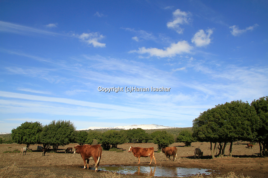 Golan Heights, cows in Odem forest