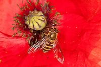 Blattlaus-Schwebfliege, Blattlausschwebfliege, Weibchen beim Blütenbesuch, Nektarsuche, Bestäubung auf Mohn, Papaver, Parasyrphus spec.