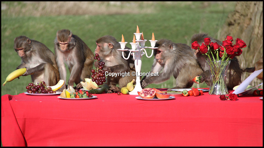 BNPS.co.uk (01202 558833)<br /> Pic: IanTurner/Longleat/BNPS<br /> <br /> The Macaques pile in to the tasty buffet.<br /> <br /> The likelihood of these diners sitting down to enjoy a quiet intimate meal for Valentine's Day was always going to be a big ask.<br /> <br /> The prospect of romance was soon replaced with antics of mayhem when the excited troop of macaque monkeys at Longleat Safari Park turned the candlelight supper into a bunfight.<br /> <br /> Within seconds of setting up the special romantic banquet complete with red roses and candelabra in their enclosure at the Wiltshire attraction, the guests had stripped the table bare and made off with the contents.