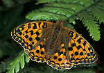 Dark Green Fritillary, Argynnis aglaga, Butterfly, adult, wings open.United Kingdom....