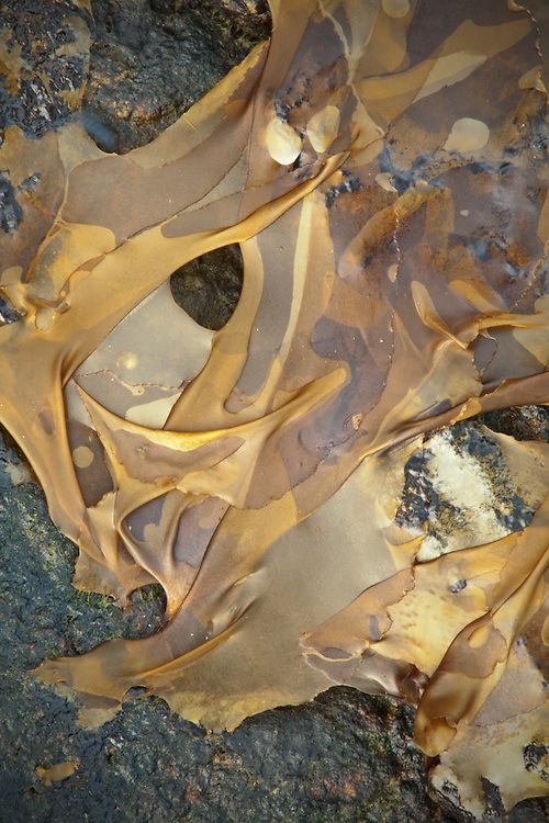 Abstract view of dried rockweed on granite rocks near Arey Cove on the Schoodic Peninsula, Acadia National Park, Maine, USA