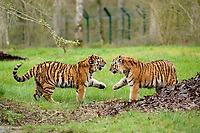 BNPS.co.uk (01202 558833)<br /> Pic: CalebHall/Longleat/BNPS<br /> <br /> Copy cats... tigers at play. <br /> <br /> Longleat Safari Park has been showing the public what they've been missing during the lockdown by releasing a candid collection of pictures of their famous collection of big cats.<br /> <br /> The Wiltshire park is currently closed to the public due to COVID-19 but has been giving animal lovers an insight into the animals.<br /> <br /> They have snapped the iconic lions in a number of spots around their enclosure as well as a series of photographs of their tigers.