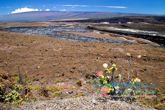 `Ohi`a Lehua, Halema`uma`u Crater, and Mauna Loa, Kilauea Caldera, Hawaii Volcanoes National Park, Big Island, Hawaii