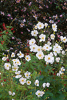 Anemone x hybrida, Anemone x huphenensis in autumn perenniall blooming flowers, with Camellia and Salvia