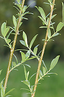 Almond Willow Salix triandra (Salicaceae) HEIGHT to 10m <br /> Small tree or untidy shrub. BARK Smooth, flaking off in small patches. SHOOTS Greenish or reddish-brown and terminate in brown, ovoid, smooth buds. LEAVES Ovate, up to 10cm long, with a serrated margin and pointed tip, usually smooth, hairless, and a dark glossy green. The petiole to 1.5cm long and smooth. REPRODUCTIVE PARTS Catkins usually appear at the same time as the leaves on short leafy shoots and are erect and cylindrical. Male catkins up to 5cm long and greenish-yellow, remaining on tree for some time. Female catkins shorter and more compact. STATUS AND DISTRIBUTION Native, widespread in southern England but becoming scarce further north and west. Grows in damp ground, often beside rivers and ponds or in marshes.