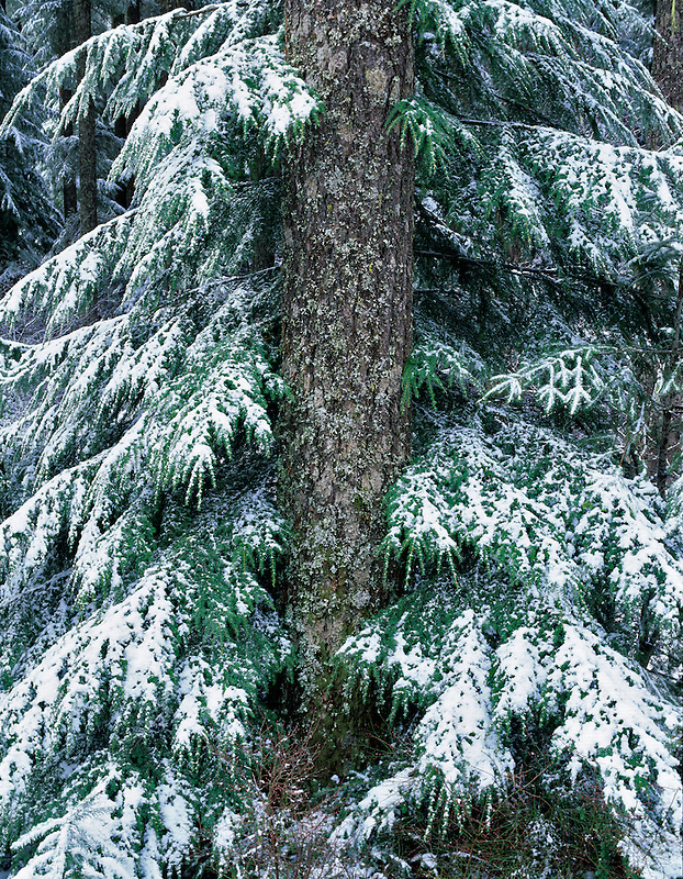 Snow on branches of hemlock tree surrounding the trunk. Willamette Pass, Oregon.