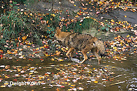 MA27-088z  Eastern Coyote - Canis latrans