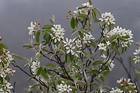 Gewöhnliche Felsenbirne, Gemeine Felsenbirne, Echte Felsenbirne, Mitteleuropäische Felsenbirne, Felsenmispel, Amelanchier ovalis, syn. Amelanchier vulgaris, syn. Amelanchier rotundifolia, Snowy Mespilus, shadbush, shadwood, shadblow, serviceberry, sarvisberry, wild pear, juneberry, saskatoon, sugarplum, wild-plum,, chuckley pear
