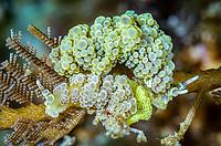 sea slug or nudibranch, Doto ussi, laying eggs, Lembeh Strait, North Sulawesi, Indonesia, Pacific