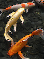 Koi, Goldfish, etc.