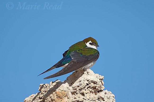 Violet-green Swallow (Tachycineta thalassina), male perched on tufa, Mono Lake, California, USA