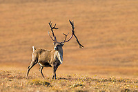 Bull caribou, rangifer tarandus, on tundra north of the Brooks range, Arctic, Alaska.