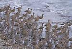 Shore Birds - Greater Yellowlegs (Tringa melanoleuca) .