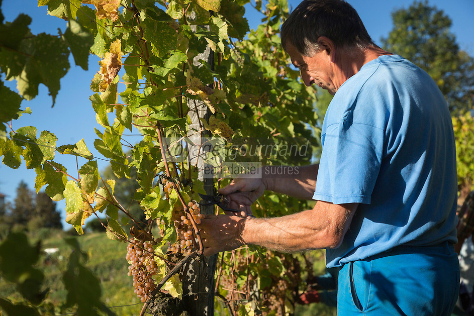 Europe, France, Aquitaine, Pyrénées-Atlantiques, Béarn, Jurançon: Domaine  Larredya, Vendanges  manuelles // Europe, France, Aquitaine, Pyrenees Atlantiques, Bearn, Jurançon: Camin Larredya domain, Manual harvest