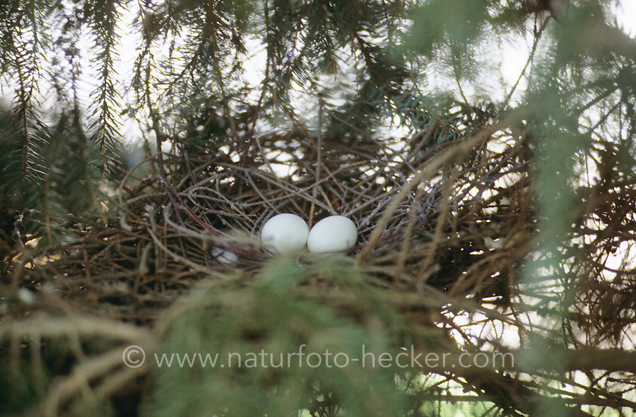 Ringeltaube, Ei, Eier, Gelege im Nest, Ringel-Taube, Taube, Columba palumbus, woodpigeon, wood pigeon