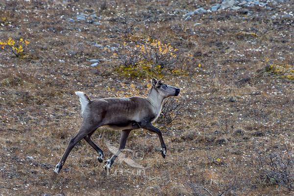 Woodland Caribou or mountain caribou (Rangifer tarandus caribou) cow in alpine tundra, Northern Rocky Mountains,  British Columbia.  Fall.