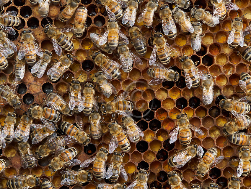 The bees have installed themselves on the colony's reserve of pollen. The cells are full of bee bread, the food for the larvae and the brood.<br /> Les abeilles sont install&eacute;es sur la r&eacute;serve de pollen d&rsquo;une colonie. Les cellules remplies de pain d&rsquo;abeille, la nourriture des larves et du couvain.