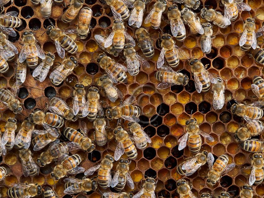 The bees have installed themselves on the colony's reserve of pollen. The cells are full of bee bread, the food for the larvae and the brood.<br /> Les abeilles sont install&eacute;es sur la r&eacute;serve de pollen d&rsquo;une colonie. Les cellules remplies de pain d&rsquo;abeille, la nourriture des larves et du couvain.