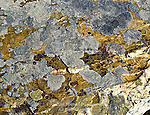 Crustose Lichens on Rock Surface