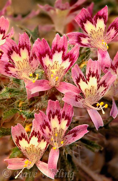 126450002 blooming desert calico wildflowers langloisia mathewsii alabama hills blm lands california
