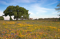 Cattle grazing in a field of bluebonnets, Indian Paintbrush, and Coreopsis near Brenham, Texas create an image of peace and contentment, Texas, USA.