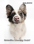 Kim, ANIMALS, REALISTISCHE TIERE, ANIMALES REALISTICOS, fondless, photos,+Papillon x Collie puppy, Jazz, 3 months old, sitting.,papillon, collie, dog, sitting, puppy, dogs, pets, animals, mongrel, pu+ppies, pups, portraits, white background+++,GBJBWP42749,#a#, EVERYDAY