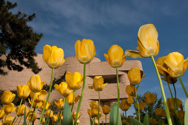 Washington DC: Tulips at the American Indian Museum.   Photo copyright Lee Foster.  Photo # washdc102644