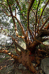 Judea, Oriental Strawberry (Arbutus Andrachne) tree in Ein Kinia