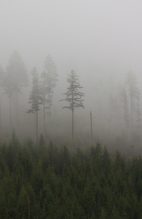Olympic National Forest, Forest clearcut, replanted Douglas Fir, taller, Leave Trees, left standing for wildlife, Olympic Peninsula, Washington State, Pacific Northwest, United States, trees in clouds,