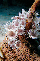 Social Feather Duster Worms on Sponge, Bahama Islands